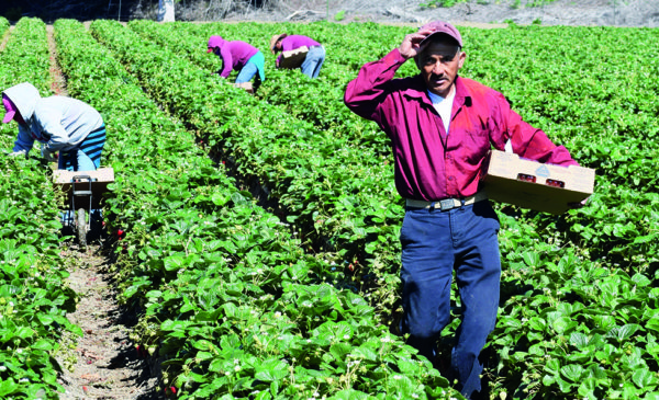 A man stands between rows of strawberries, holding a box with strawberries he has picked.  In the background, other workers are leaning over rows of plants, picking strawberries.