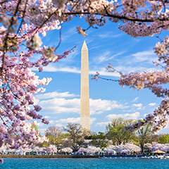 The Washington Monument, framed by cherry blossoms on a spring day.