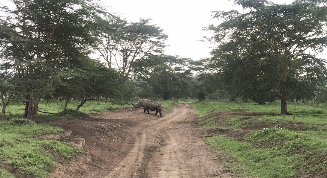 White Rhino spotting at Lake Nakuru National Park