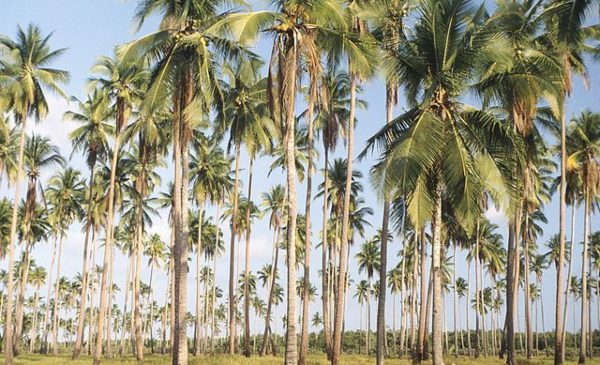 A field of palm trees on an island in the Philipines.
