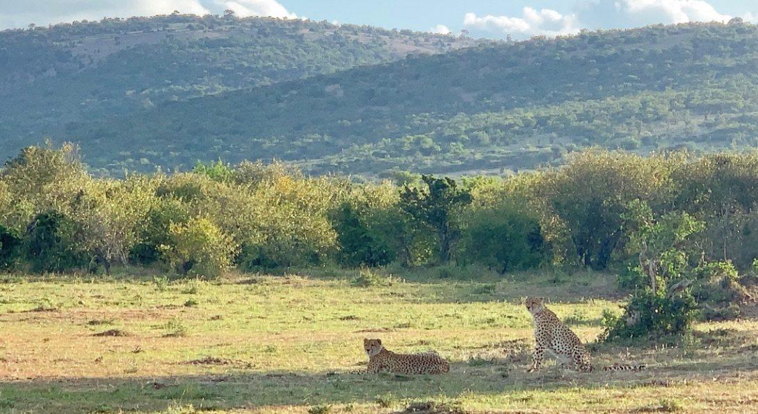 Two Cheetahs in Masai Mara
