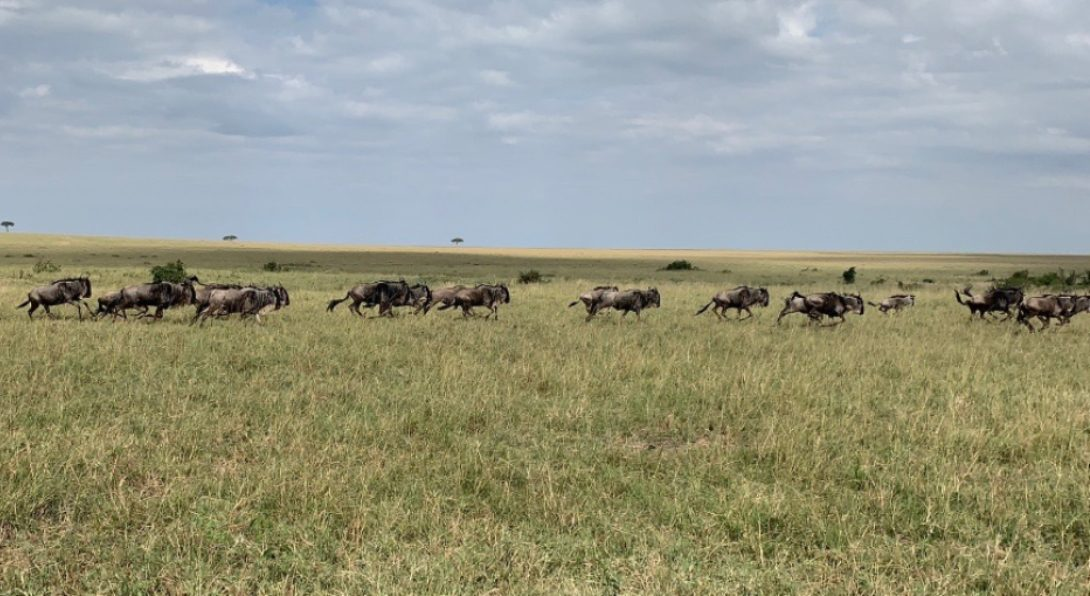 A Group of Wildebeests