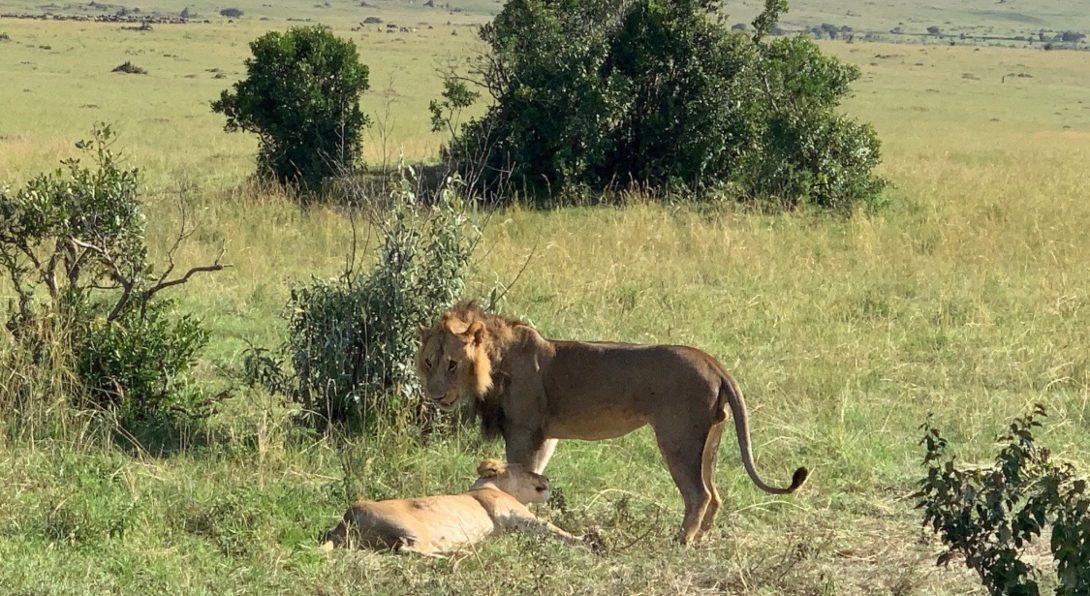 Two Lions in the Park