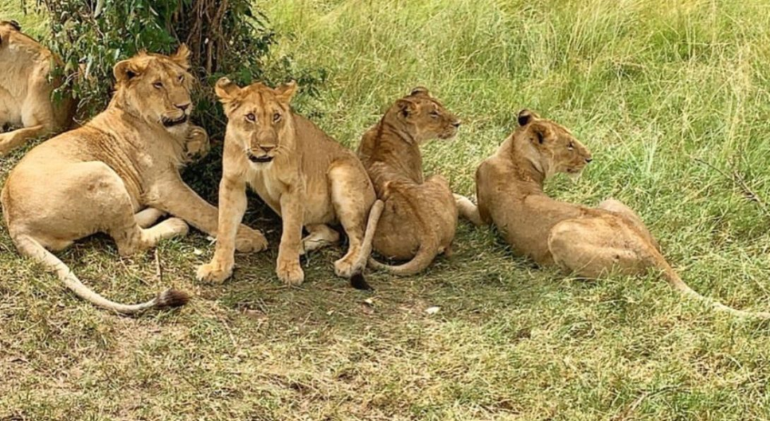 A Lioness and her Cubs