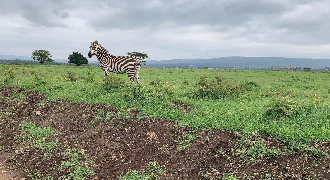 Zebras in Nukuru
