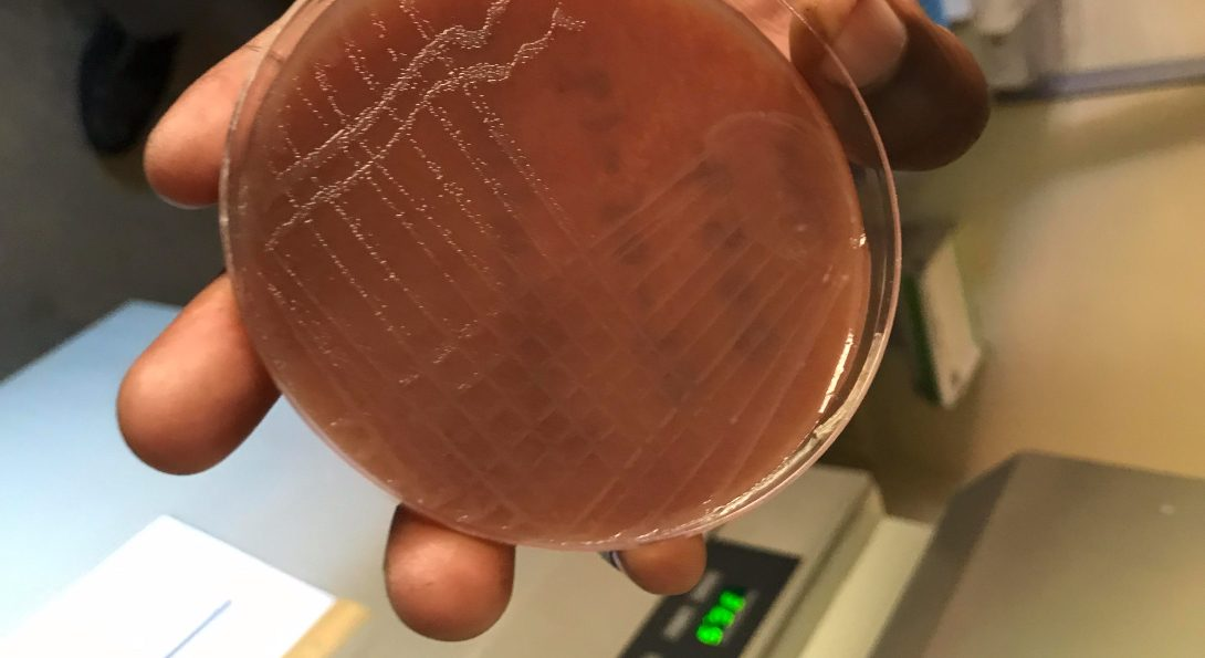 Sub-culture growth of gonorrhea colonies