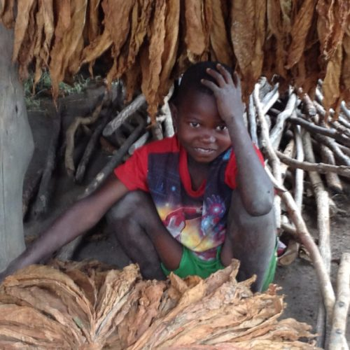 A boy crouches next to drying tobacco plants in Malawi.