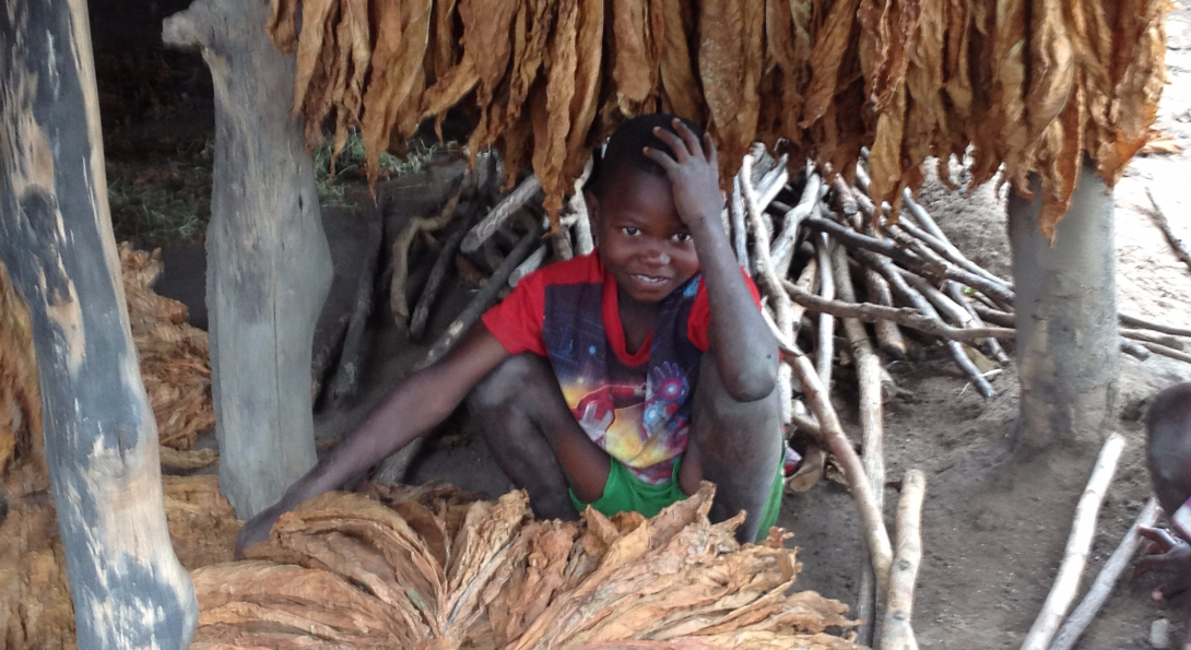A boy crouches next to dried tobacco plants.