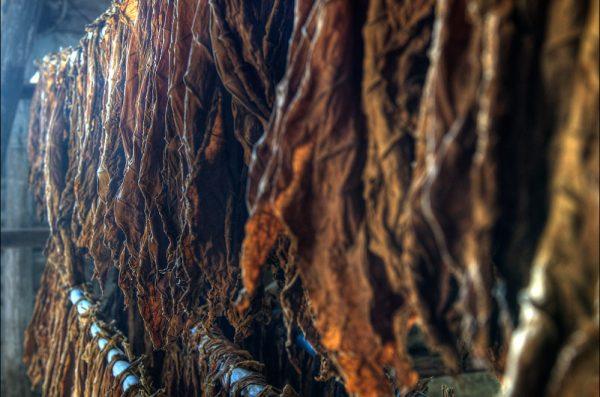Tobacco leaves in drying racks.